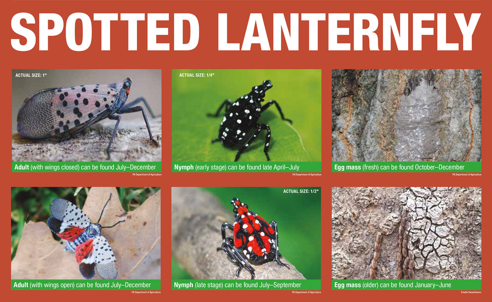 Spotted Lanterfly lifecycle_0